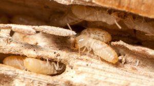 شركات مكافحة النمل الابيض بالرياض